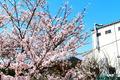 1週間前 桜 (鴨方工場にて)